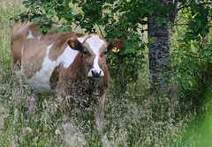 Cute Cow  :) (Linnea from Sweden) Tags: nikon d7000 afs 55200mm 456 ed vr domestic animal cute cow nature summer 50v5f