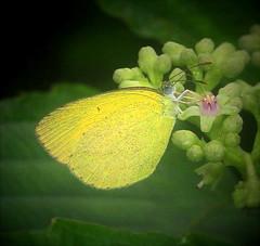 ecosystem/fauna/Spotless Grass Yellow( Eurema laeta) (biodiversity western ghats(before it is gone)) Tags: pieridae coliadinae diversityindia butterflyindia faunaofwesternghats