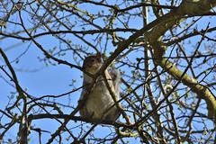 Grey Squirrel (SLANEY58) Tags: baddesleyclinton squirrels uk westmidlands knowle gbr