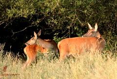 Mimétisme / Mimicry (pm100%nature19) Tags: 19 corrèze limousin cervidés biches mammifères animal