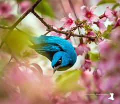Blue Dacnis (MartinJonesPhotgraphy) Tags: brazil landscapes nature birds neotropical rainforest scenery bluedacnis cherry blossom