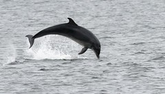 Dolphin breaching on a very grey day in Scotland (ftm599) Tags: inverness water river nikon wildlifephotography naturephotography actionphotography nature wild wildlife action leaping diving breaching dolphins dolphin