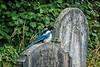 Magpie Resting In Peace (Jomak1) Tags: 2017 july london rps swgroup westbrompton westbromptoncemetry graves jomak1 photowalk