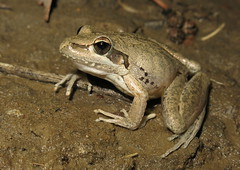 Broad-palmed Rocket Frog (Litoria latopalmata) (Heleioporus) Tags: broadpalmed rocket frog litoria latopalmata near mitchell queensland
