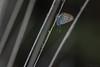 Silver-studded Blue (Plebejus argus), male, Heideblauwtje ((Ruud) Reddingius) Tags: heideblauwtje heide plebejus pijpenstro moorgrass heathland butterfly vlinder grass plebejusargus ef100mmf28lmacroisusm canoneos80d