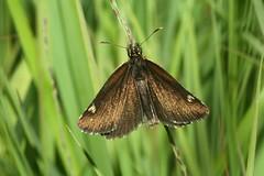 Heteropterus morpheus, le miroir. (chug14) Tags: animalia papillon butterfly arthropoda hexapoda insecta lepidoptera hesperiidae heteropterinae miroir heteropterusmorpheus