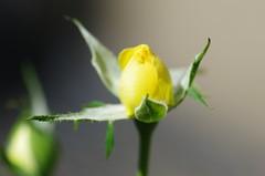 Lemon Drop miniature rose (Niki Gunn) Tags: pentax k5 july 2017 rose plant flower tamron 90mm macro tamron90mmmacro tamronspaf90mmf28 tamron90mm tamron90mmf28