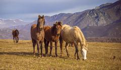 Horses (aramatyan) Tags: horses mountain october warm landscape