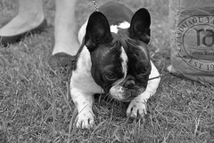 19400404_1346223255433458_7314563917168205941_o (Anastasia Neto) Tags: frenchbulldog frenchies frenchie funnydog frenchbulldogs funnydogs petmodel puppies petphotography petphotographer dog dogphotography dogmodel dogs dogphotographer cutepuppies cutepuppy dogshow