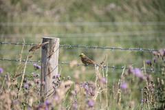 Bird on a Wire (Shastajak) Tags: yellowhammer bird fencefriday fence bokeh barbedwire wire emberizacitrinella
