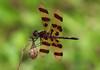 Halloween Pennant Dragonfly (Male) (praja38) Tags: wings dragonfly halloweenpennant animal life wild wildlife nature caps cap capricorn humour canada ontario portperry lagoon