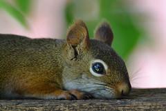 Sometimes even an evil genius needs a break! (DaPuglet) Tags: squirrel squirrels redsquirrel red fur animal animals mammal nature wildlife rest macro smileonsaturday halfaface coth coth5 sunrays5 ngc npc fantasticnature alittlebeauty naturethroughthelens