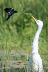 Grande aigrette / Great Egret (sergeforcier) Tags: grandeaigrettegreategret