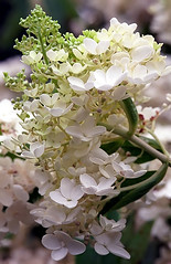 """Cincinnati – Spring Grove Cemetery & Arboretum """"Panicle Hydrangea  - A Bouquet Of Transformation"""" (David Paul Ohmer) Tags: ohio cincinnati spring grove cemetery arboretum springgrovecemetery gravesites burial grounds death spirit soul deceased graveyard conservatory victorian gothic revival national historic landmark adolph strauch cemetary panicle hydrangea bloom flower"""