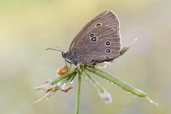 Brauner Waldvogel (HelmiGloor) Tags: butterfly tagfalter schmetterling braunerwaldvogel insekten insecta wildlife macro makro olympusmzuikodigitaled60mm olympusomdem1mkii aphantopushyperantus ringlet