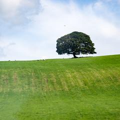 Tree on a Hill (Syncher) Tags: uk northernireland tree green clouds sky grass field sheep pasture hill d600 nikon nikond600
