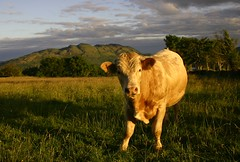 Curious looking Bullock (flxnn) Tags: cattle animals animal outdoor rural light evening country countryside europe natural ireland grass grassland mountain 2017