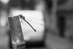Fly My Little Dragon, Fly ! (Ren-s) Tags: dragonfly libellule odonata insecte insect animal noir blanc nb noiretblanc noirblanc bnw bw blackandwhite black blackwhite white street streetphotography rue photographiederue bokeh proxi macro closeup voiture car city ville town towncenter downtown centreville bruxelles brussels belgique belgium europe bamboo bambou tige stem new life composition contraste contrast olympus em10 m1442mm f3556 ii r