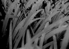 Herbes folles (Franck H) Tags: leica m3 leitz summarit 50mm ilford delta 100asa kodak d76 11 20° 12mn outside nature water river rain analog manual negative exposur noirblanc blackandwhite nb bw