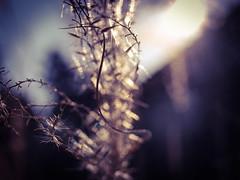 A little bit of magic (Chi Tranter) Tags: grass gold light nature japan wakayama travel explore adventures seeds