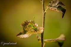 Grasshopper (pearl.winch) Tags: 19thjuly2017 fingeringhoewick withanne 9181 a little beauty