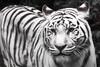 20170728 - Dierenpark Amersfoort - DSC05572_3 (schonenburg2) Tags: tiger white whitetiger zoo tijger wittetijger dierenparkamersfoort