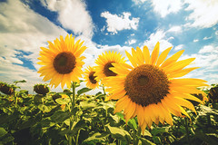 Greetings from summer (Pavel Cervenka Photographer) Tags: sunflower plant field ultrawide sky cloudy warm summer czech republic detail pavel cervenka colorful canon eos100d efs1018 landscape closeup