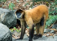 Spider Monkey (wild) (mattybecks3) Tags: nationalgeographic ngc natgeo granada nicaragua day2 worldtravel