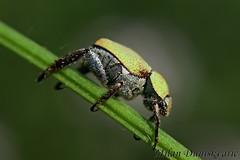 člankonožac, Oštrc (mdunisk) Tags: člankonožac hopliaparvula melolonthidae kornjaš kornjaši tvrdokrilac kukac kukci insekt hoplia ostrc rude braslovlje hopliaargentea phyllobiusargentatus srebrnozelenilistžižak