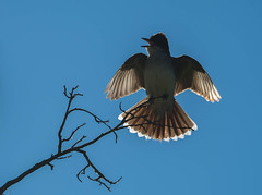 Hark the Herald (~ Bob ~) Tags: tamron bc wildlife silhouette amazing nature d500 easternkingbird backlit canada merritt sing bird nikon