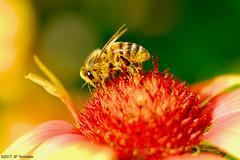 Abeille en or (jpto_55) Tags: abeille insecte gaillarde butineuse macro bokeh fuji fujifilm fujixf55200mmf3548rlmois xe1 hautegaronne france