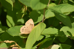 unidentified brown/tan butterfly (turn off your computer and go outside) Tags: 2017 albanywildlifearea greencounty june sugarriverstatetrail wi wisconsin butterfly insect latespring nature niceweather outdoors partlycloudy unidentified