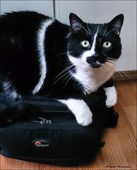 """ That's Not Your Bag Man !! "" (John Neziol) Tags: jrneziolphotography nikon nikondslr nikoncamera nikond80 pet portrait animal brantford cute cat petphotography petphotographer cc100 cateye catseyes feline kitty"