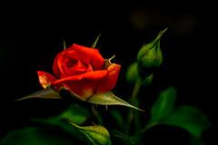 Miniature Rose : ミニバラ (Dakiny) Tags: 2017 summer july japan kanagawa yokohama aoba ichigao outdoor nature field park plant tree flower flora rose macro bokeh red nikon d750 nikkor 50mm f18 afsnikkor50mmf18g nikonafsnikkor50mmf18g nikonclubit