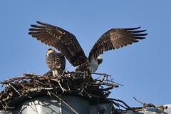 133 (GJSmith Photography) Tags: osprey gjsmith birds nikon d750 200m 500m clutch nest birding 500mm uper telephoto