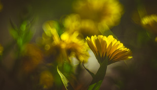 Wild flower - Trioplan Bokeh 1