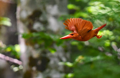 A ruddy kingfisher in flight after taking off (takashimuramatsu) Tags: ruddy kingfisher halcyoncoromanda ruddykingfisher flight flying beech forest red アカショウビン 飛翔