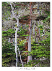 Coastal Forest, Point Lobos (G Dan Mitchell) Tags: pointlobos state natural reserve park california coastal forest trees dense north trail nature landscape usa america cypress monterey peninsula red lichen