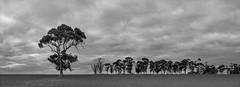 Trees (Anthony Kernich Photo) Tags: adelaide australia southaustralia sa freeling farm farmland paddock tree pano panorama panoramic olympusem10 olympus olympusomd blackandwhite blackwhite bw mono monochrome overcast trees treelined microfourthirds simple sky clouds twilight