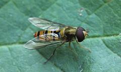 9788 Episyrphus balteatus (jon. moore) Tags: diptera prioryfields warwickshire episyrphusbalteatus