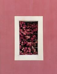 Cagliari (Ellipa) Tags: pink rosa finestre windows fiori cagliari