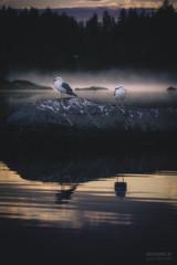Argue (>>Marko<<) Tags: puula kangasniemi eteläsavo suomi finland nature bird lintu lokki water vesi seagull gull