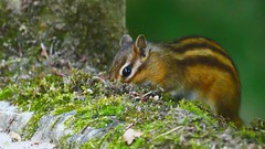 Ecureuil (YᗩSᗰIᘉᗴ HᗴᘉS +6 500 000 thx❀) Tags: écureuil fauna faune animal squirrel nature natural