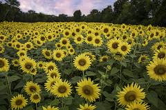 _LCH3485 sunflowers (snolic...linda) Tags: arkansas rualarkansas fujixt2 faulknercounty conway mayflower camprobinson sunflowers flowers yellow sky