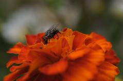 20170702_Jardins_Secrets_Vaulx_Fl (9 sur 20) (calace74) Tags: rhonealpes fleur france insectes jardin jardinssecrets macro vaulx