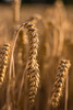 Weizenfeld im Somer (juergenkuehberger) Tags: weizen weizenfeld nahaufnahme ernte feld getreide