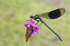 Gebänderte Prachtlibelle (HelmiGloor) Tags: calopteryxsplendens gebänderteprachtlibelle kleinlibellen odonata damselfly olympusomdem1mkii olympusmzuikodigitaled60mm makro wildlife weiach focusstacking focusbracketing