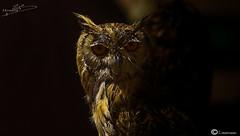 Buho (I. Alberdi Ezpeleta) Tags: coruja gufo hibou owl curuxa mussol hontza buho ontza