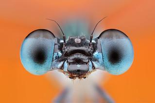 Coenagrionidae (Zygoptera)