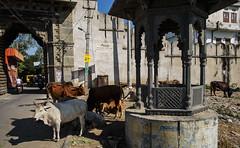 La India, supongo (Nebelkuss) Tags: india rajasthan udaipur vacas cows templete temple fujixpro1 fujinonxf18f2